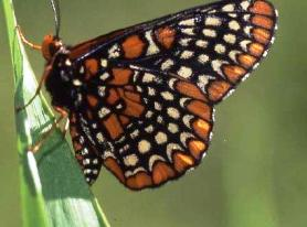 Photograph of Baltimore Checkerspot (Euphydryas phaeton) at Red Wiggler Community Farm.