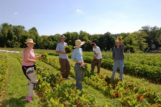 Photograph of our growers, staff, and volunteers harvesting chard in June 2006.