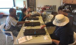 Seeding the Salanova lettuce