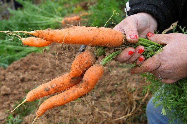 Volunteer holding carrots at Red Wiggler Community Farm.