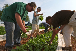 Teamwork Harvesting Healthy Greens