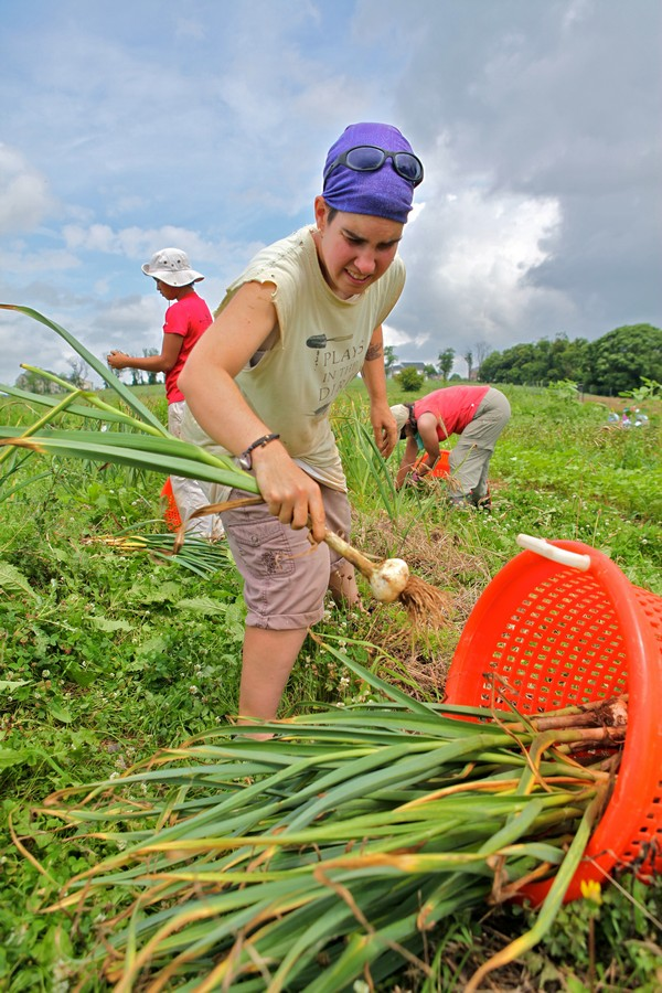 Grower Samantha Sheehan picks garlic at Red Wiggler.