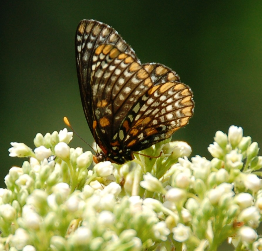 Baltimore_Checkerspot_Milkweed_07