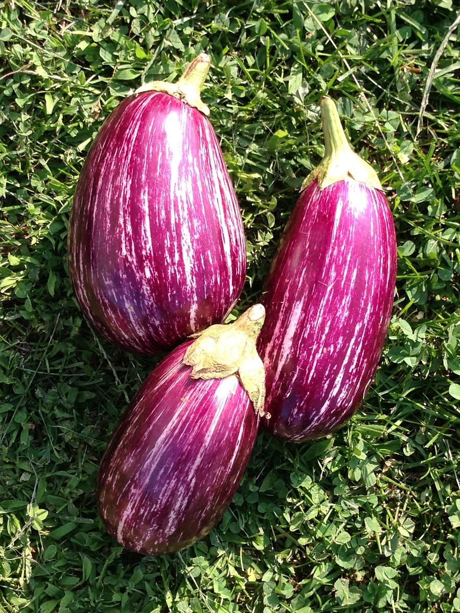 Annina F1 Eggplants