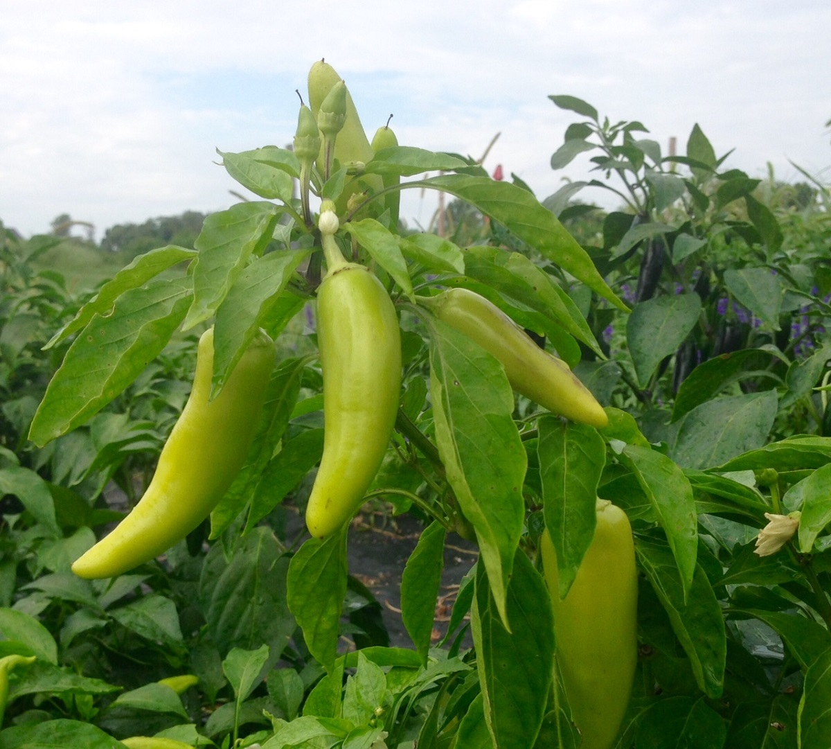 These are Hungarian wax peppers growing in our fields.