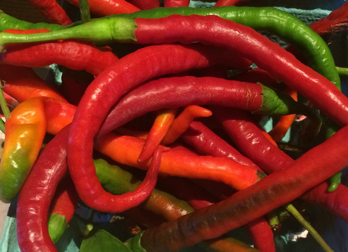 Photo: Long cayenne peppers.