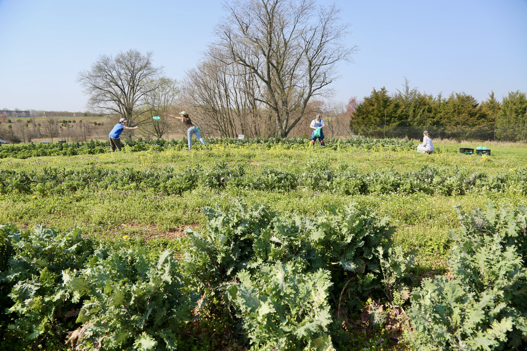 Against a backdrop of blue skies, 2 Growers and 2 year-round team members gleaning overwintered kale. Some big trees are in the background.