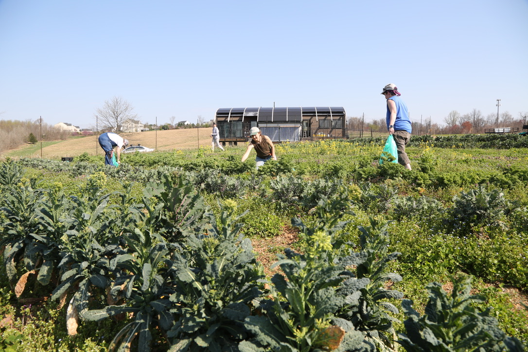 2 Growers and 2 year-round team members gleaning overwintered kale. Solar House is in the background.