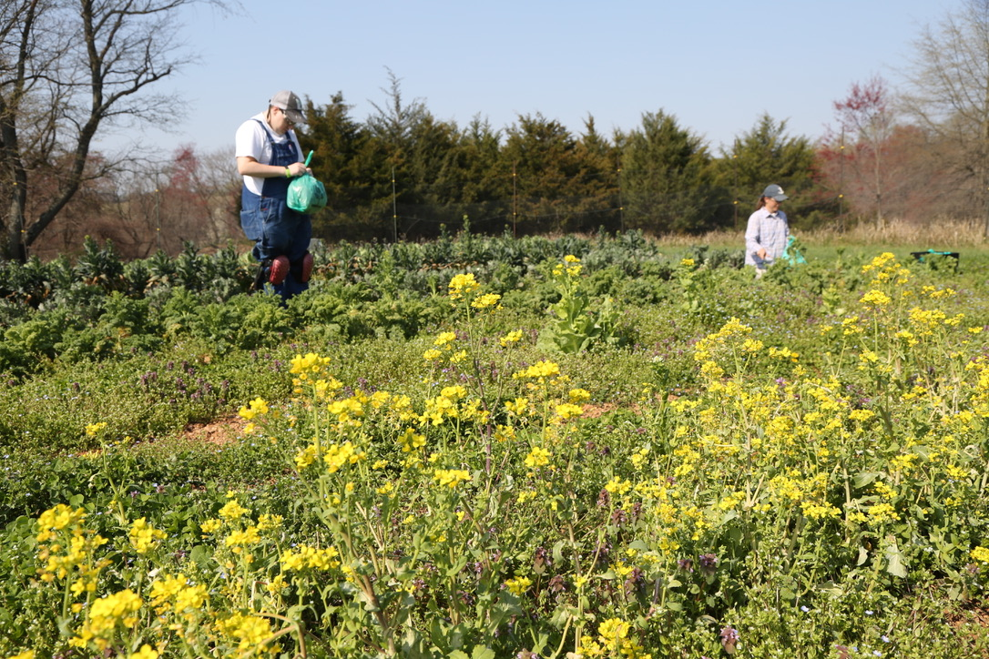In our fields with the overwintered kale are Brandon (Grower) to the left, bagging kale, and Melissa (Farm Manager) to the right.